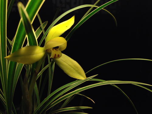 这是什么兰花品种和名称图片