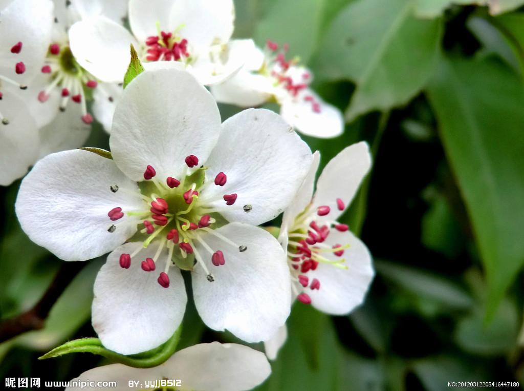 爱内梨花ed2k无马种子高清_有一种花它花瓣是白色的然后中间花蕾那里有一点点红