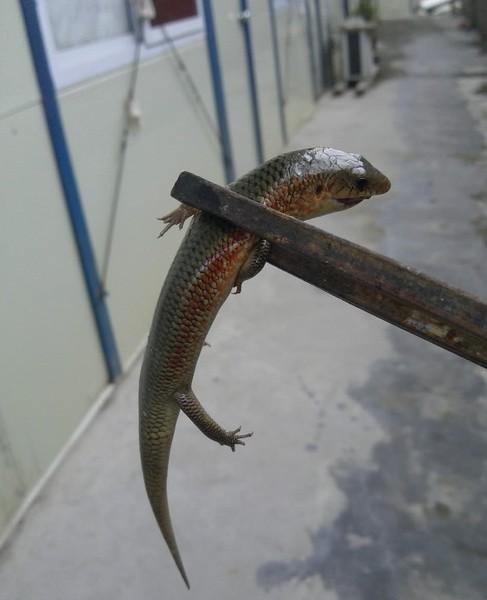 梦见灾难,被一条长腿的蛇救