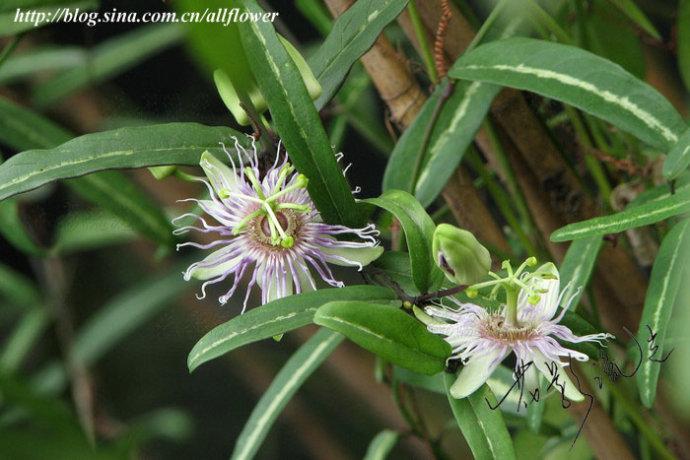 这个应该是蛇王藤,为西番莲科西番莲属植物蛇王藤passiflora