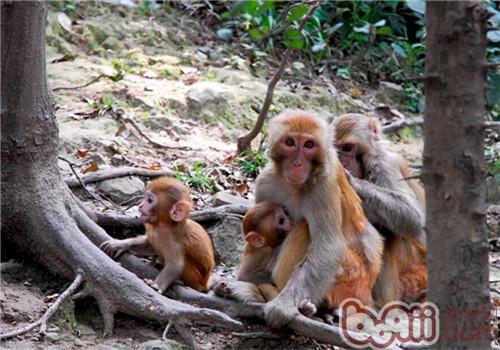 猕猴是什么品种?