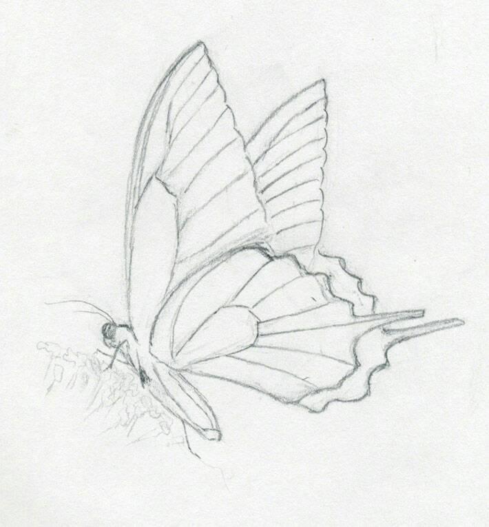 求一只简易的蝴蝶素描,清晰大图!急用!