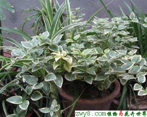 长春蔓的盆栽
