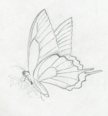 求一只简易的蝴蝶素描,清晰大图!急用!图片