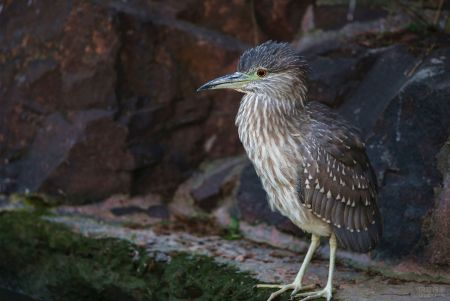 夜鹭:幼鸟