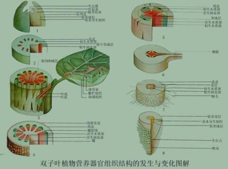 如何从内部结构识别双子叶植物的幼根和幼茎