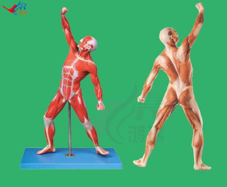 求人体肌肉全身正反面图 艺术用!要临摹