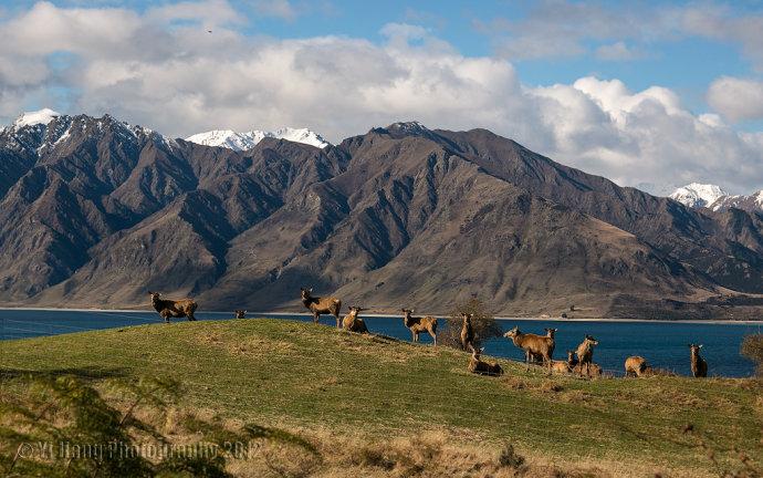 终于在wanaka附近看到了大片羊群,牛群和鹿群在雪山湖水下的风景,而且
