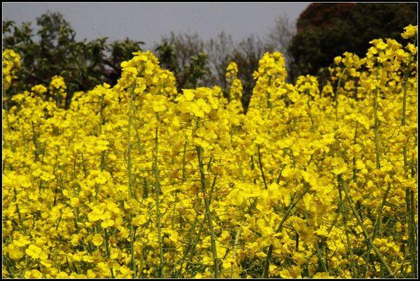 油菜花盛开图片
