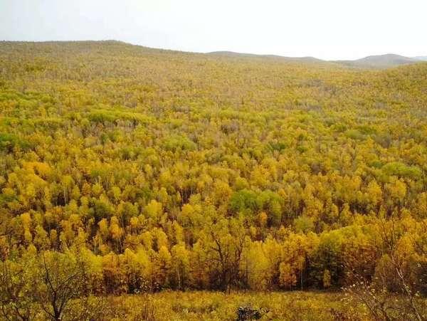 额尔古纳河岸的原始森林图片图片