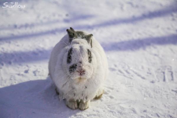 雪地里呆萌的小兔子~图片