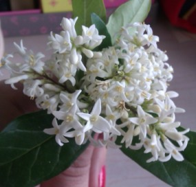 一种灌木,白色的花,四瓣尖尖的,黄色花蕊,很香,求准确