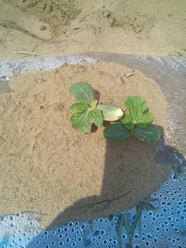 西瓜幼苗黄叶什么病 用什么药