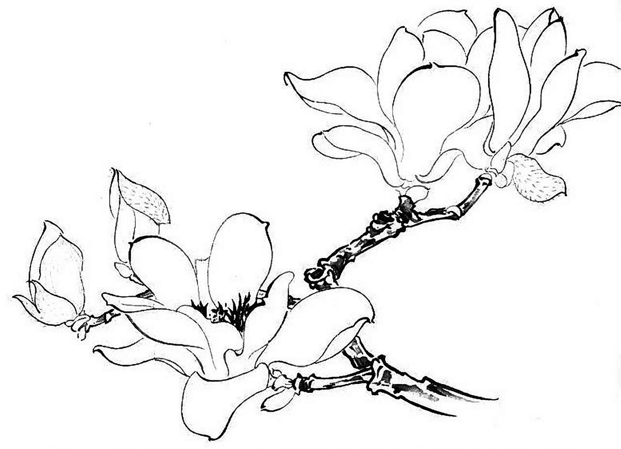 玉兰花图片手绘素描