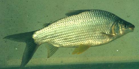 有谁知道这是什么鱼?在广东南海的北江网到的