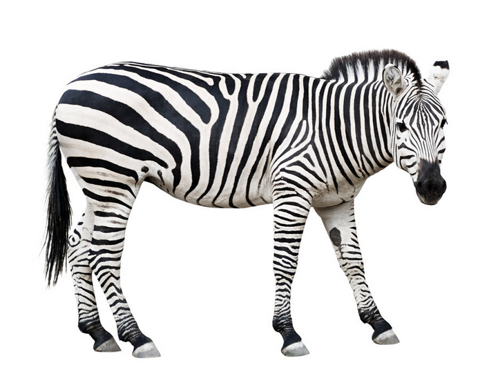有什么动物是黑白条纹的