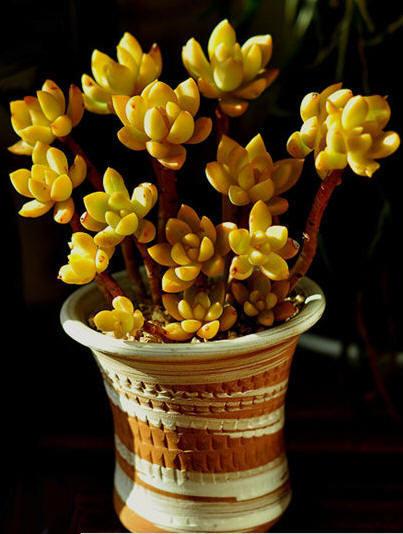 多肉材料杜邦最大长多宽黄丽植物图片