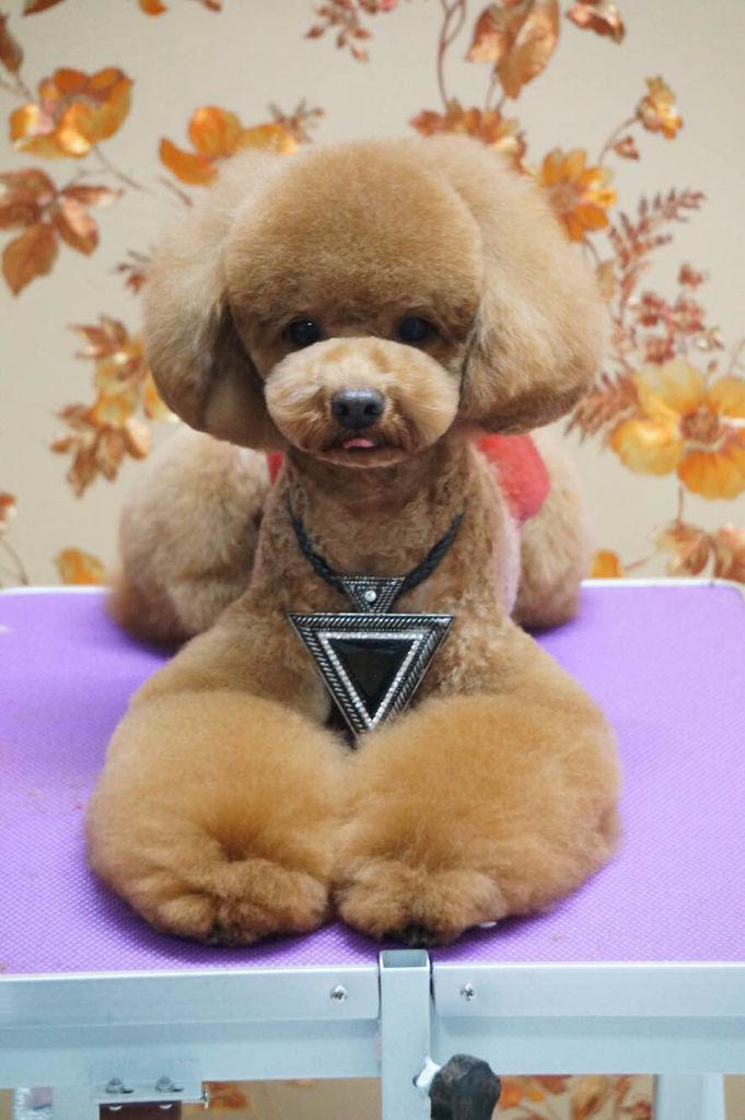 泰迪成犬,腿毛少,剪什么发型能好看,最好有图