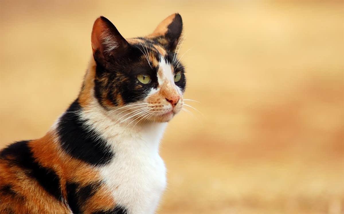 三色猫_三色猫系列的三色猫系列
