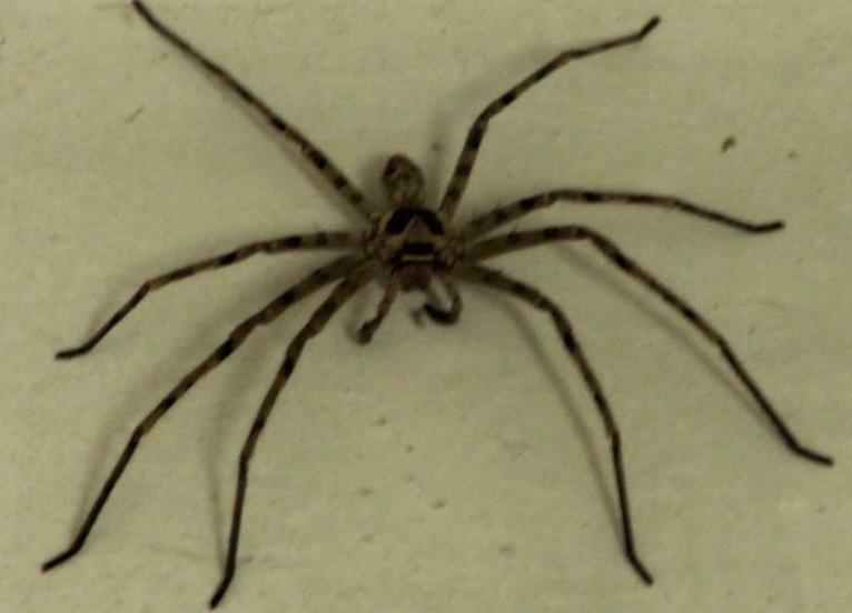 广州地区,家里面发现一个蜘蛛,腿大概有5厘米长,求问有没有毒啊!图片