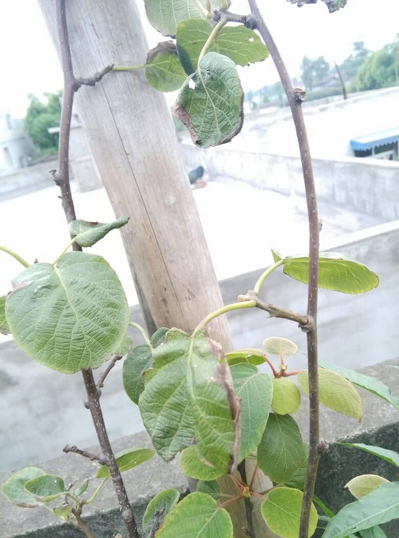 我家的猕猴桃叶子焦边是什么情况,楼顶,盆栽,这两天温度差不多30度,是