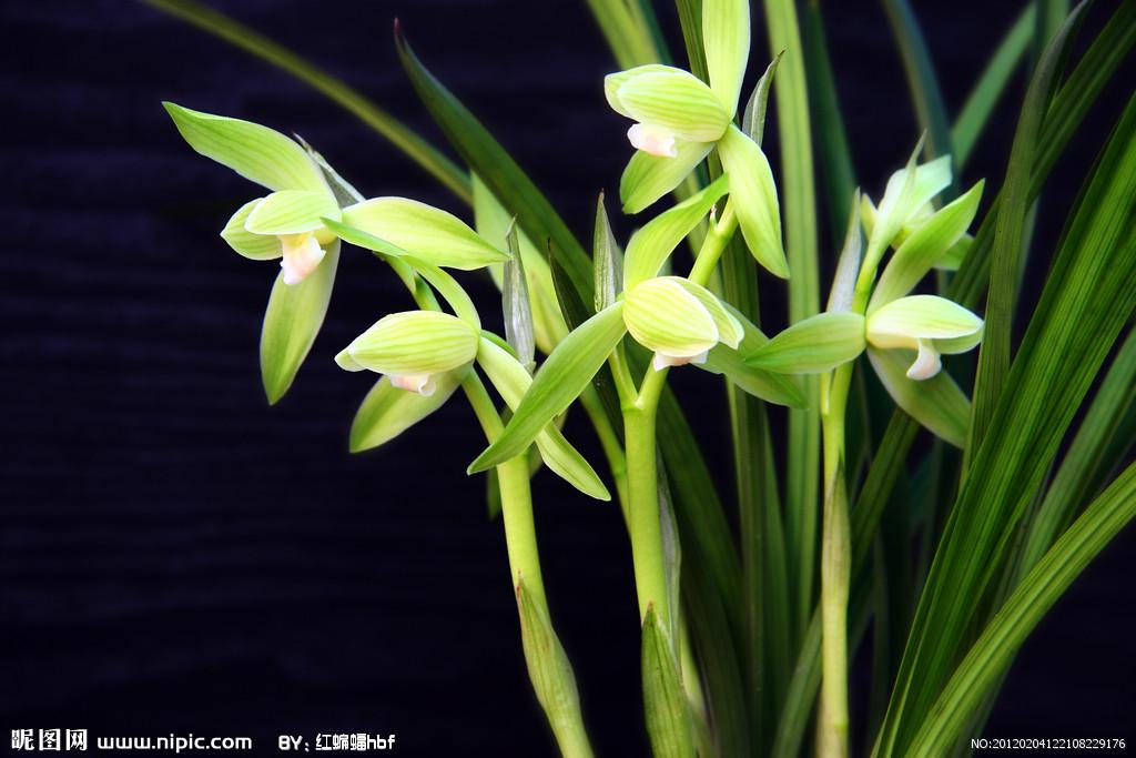花朵香味浓郁纯正.名贵品种有各种颜色的荷,梅,水仙,蝶等瓣型.图片