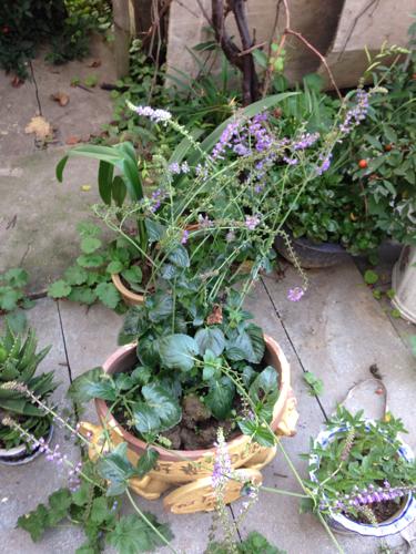 此种植物只开花不结果,一年生草本植物,可以扦插茎芽繁殖存活.