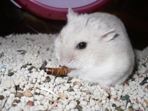 乌龟仓鼠一定要吃面包虫干?山家养收购价格图片