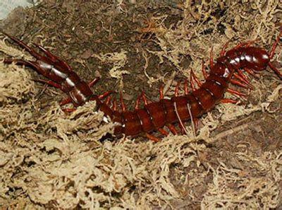 中国红巨龙蜈蚣的内部结构