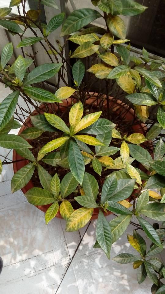 我家的栀子花为什么黄了叶子?