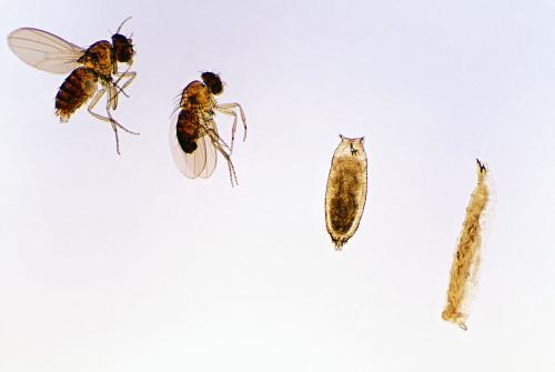 雌雄果蝇背腹面手绘图