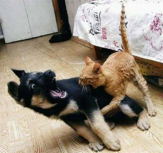 我家的猫跟狗打架,你觉得谁赢了?