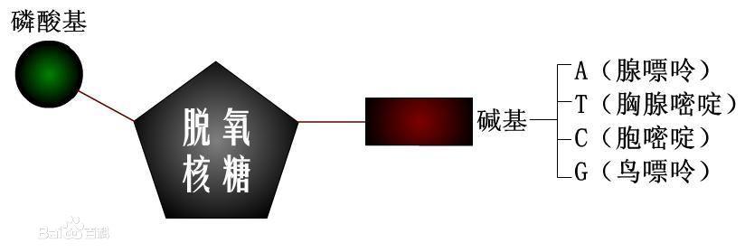 脱氧核糖核苷酸的结构示意图