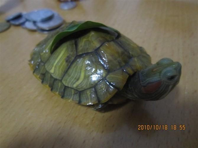 家养小乌龟冬眠