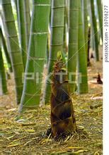 春天的竹笋,节节向上.东莞华辉食品图片