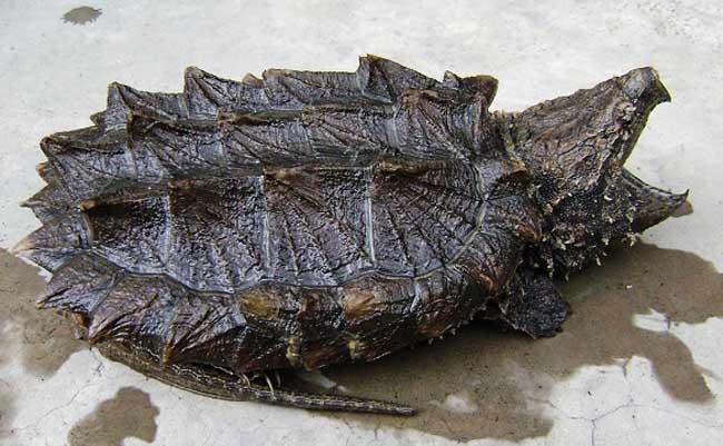很老的粗��_鳄龟是现存最古老的爬行动物,世界最大的淡水龟之一,有淡水动物王者