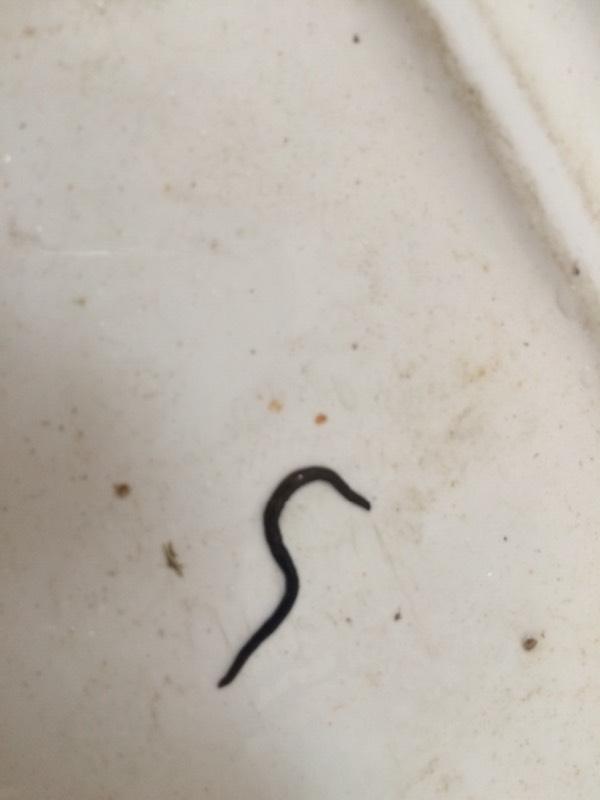 无虫木丰_在便池发展一条虫,求解是什么虫,会不会肚子里长虫了