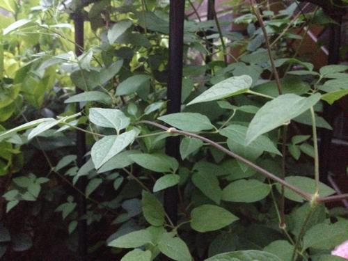 请判断是什么植物? 藤本 单叶对生 花办四 紫色
