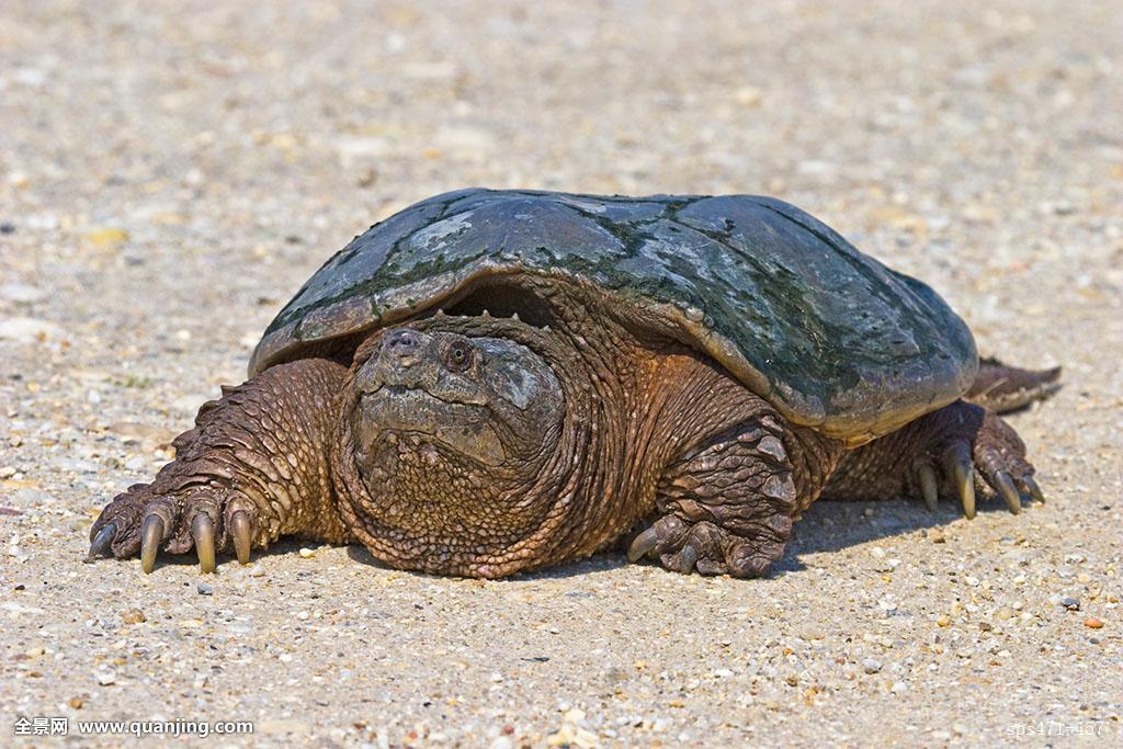 鳄龟,是现存最古老的爬行动物,世界最大的淡水龟之一,有淡水动物王者