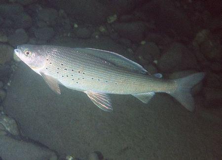 暗青色 背部有花纹 大嘴 有尖牙 修长条状是什么鱼