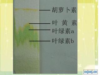 展开全部从下往上叶绿素a叶绿素b叶黄素胡萝卜素叶绿素b最宽幼儿园绘本教案ppt故事中班图片