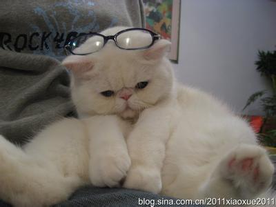 求帮找一下这张猫咪图片的高清图,一只站立着戴眼镜的