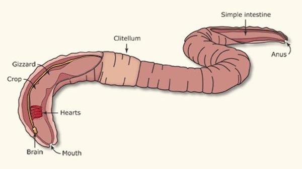 一只蚯蚓被断成两只,它的意识在哪只?的头图