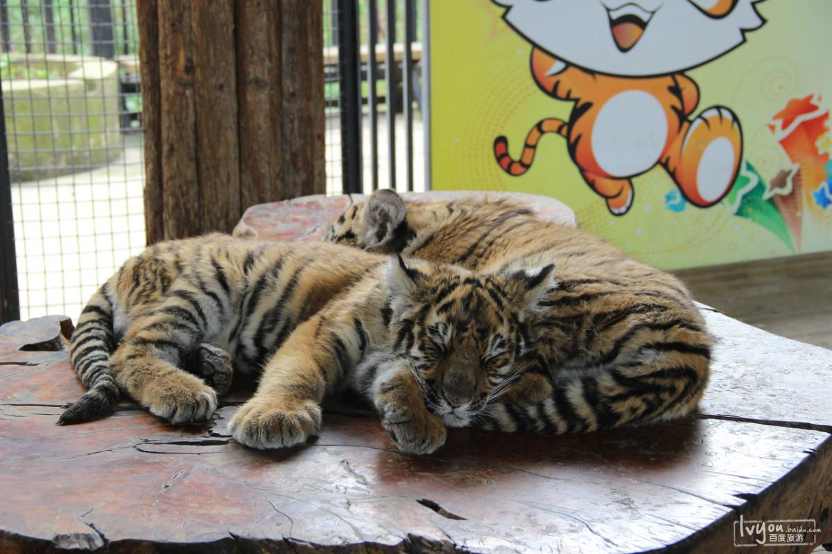 这些动物园的老虎狮子真的很可怜