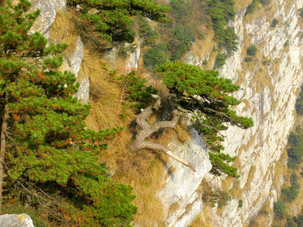 这是悬崖上生长的松树.图片