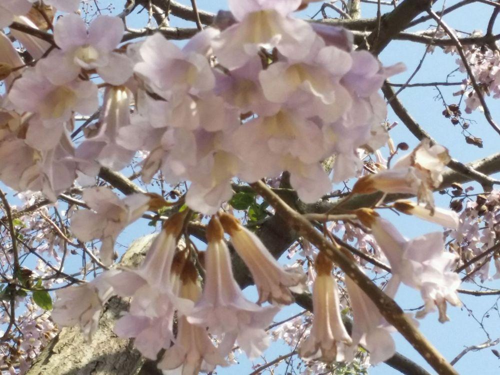 青岛梧桐树,招来金凤凰图片