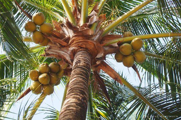 马路边上的椰子树,长满了椰子.图片