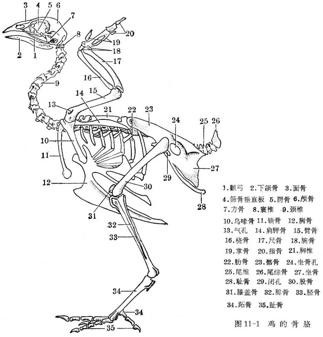 骨骼结构不同