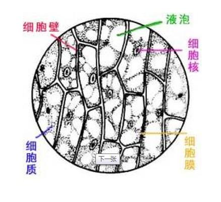 洋葱表皮细胞,手绘图
