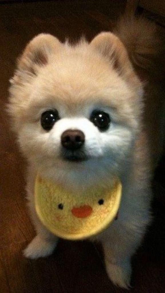 这个是什么品种的狗狗啊!好可爱的样子啊!